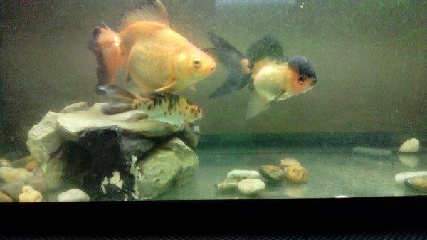 regalo tre pesci da acquario dolce a roma in tempo libero